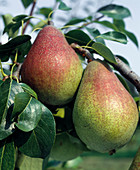 Pear 'Clapps darling'