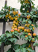 Apricots on the trellis