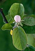 Bud of Cydonia oblonga (Quince)