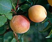 Apricot 'Nancy'