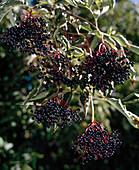 Elderberry (Sambucus nigra), elderberries