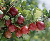 Gooseberry red