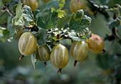 Yellow gooseberry