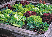 Various lettuces