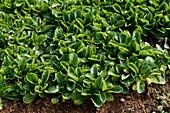 Valerianella locusta, corn salad