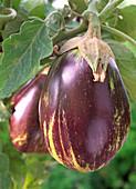 Eggplant 'Anet'