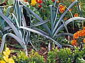 Allium porrum (leek, leek)