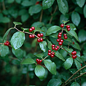 Lonicera xylosteum (red honeysuckle)