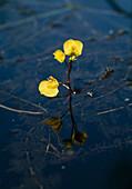 Utricularia vulgaris, water hose with flowers