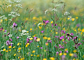 Flower meadow with carnations, meadow chervil and buttercups