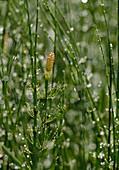 Ackerschachtelhalm / Equisetum arvense