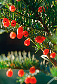 Taxus baccata (Common yew) with fruits,