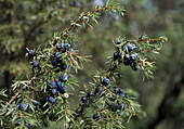 Juniperus communis with blue-black berries