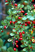 Berberis vulgaris (barberry)