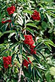 Sambucus racemosa (red elder, grape elder)