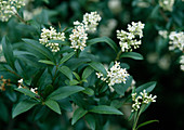 Ligustrum vulgare (Privet)