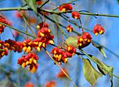 Euonymus europaeus (spindle tree)