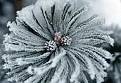 Hoar frost on pine