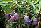 Mango tree, tropical fruit tree with violet fruits