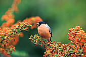 Bullfinch, also called common bullfinch or blood finch, on Pyracantha