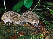 Hedgehog siblings (moonrats) foraging