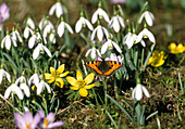 Butterfly Little Fox with Galanthus and Eranthis