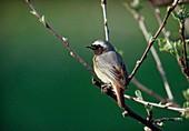 Redstart (Phoenicurus phoenicurus) on apple branch