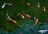 Koi carp in the garden pond