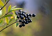 Ligustrum vulgare (Privet) berries