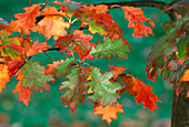 Quercus (oak), leaves with autumn coloration
