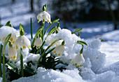 Leucojum vernum (March Cup) in the snow