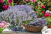 Basket of freshly cut lavandula (lavender) on bench