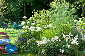 White bed of Astilbe, Hydrangea arborescens 'Annabelle'