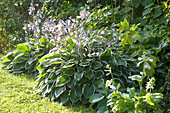 Hosta Hybride 'Francee' (White-bordered Funkie) in the shade-bed
