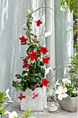 Mandevilla Sundaville 'Red', 'White' in gray pots