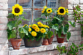 Helianthus annuus (sunflower) in clay pots and Zinnia elegans
