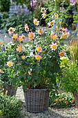 Dahlia 'Siemen Doorenbosch' (anemone-flowered dahlia) in a basket