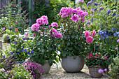 Dahlia 'Lavender Ruffles' (Decorative Dahlia)