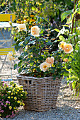 Pink 'Palace Rose Olympic' (rose) in basket on gravel terrace