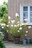 Hydrangea paniculata 'vanilla fraise' (panicle hydrangea) in basket