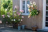 Hydrangea paniculata 'Vanilla Fraise' and 'Pinky Winky'