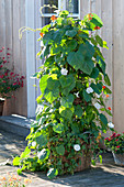Ipomoea tricolor 'Milky Way' (morning glory) with Phaseolus