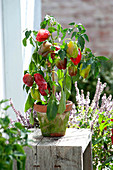 Capsicum annuum 'Neusiedler Ideal' (paprika, sweet peppers)