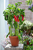 Capsicum annuum 'Red Tip Paprika F1' (paprika) in a clay pot