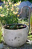 Dahlia 'Siemen Doorenbosch' (Anemone-flowered Dahlia)