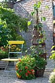 Weidenkorb bepflanzt mit Tropaeolum majus 'Alaska Mix' (Kapuzinerkresse