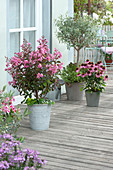 Lagerstroemia indica 'Rhapsody in Pink' (Curly Myrtle),