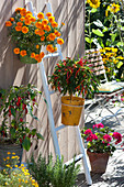 Pots with Capsicum annuum (paprika, hot peppers), Tagetes
