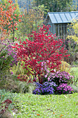 Autumnal bed with Euonymus alatus and Aster