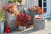 Late Summer Terrace with Begonia Summerwing's 'Apricot', 'Dragonwings'
